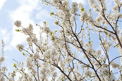 Spring blossom and the blue sky. Picture of beautiful spring blossom and the blue sky - apple trees in the garden Stock Photo