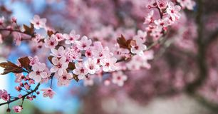 Spring blossom border with pink blooming tree. Beautiful nature scene with flowers on tree and sun flare. Sunny day. Beautiful royalty free stock photography