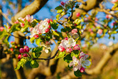 Spring blossom: branch of a blossoming apple tree on garden back Stock Photo