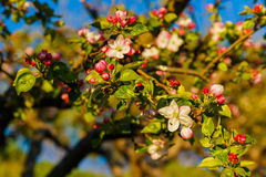 Spring blossom: branch of a blossoming apple tree on garden back Royalty Free Stock Image