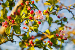Spring blossom: branch of a blossoming apple tree on garden back Stock Photography