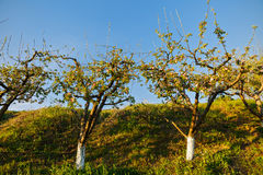 Spring blossom: branch of a blossoming apple tree on garden back Stock Photos