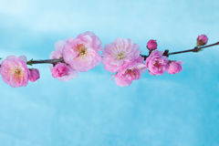 Spring Blossom Branch. Pink and white flowers blossoming on a branch Stock Image