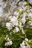Spring blossom: branches of blossoming apple tree on sky background. Stock Photo