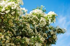 Spring Blossom Branches Stock Photos