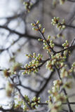 Spring blossom buds Royalty Free Stock Images