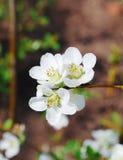 Spring blossom bush Stock Image