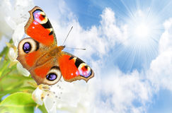 Spring blossom and a butterfly. Stock Photography