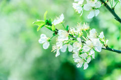Spring Blossom. Cherry blossom in the spring royalty free stock photo