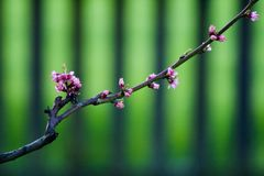 Spring blossom - cherry branch Royalty Free Stock Photos