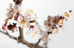 Spring blossom cherry brunch Royalty Free Stock Images