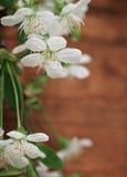 Spring blossom cherry flowers Stock Image