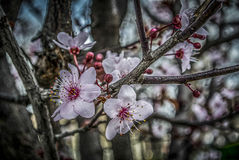 Spring Blossom. Cherry flowers on a tree Royalty Free Stock Photography