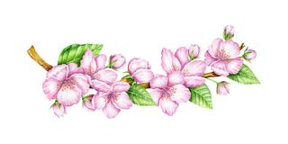 Spring Blossom. Cherry pink flowers. Blooming branch. Floral border. Watercolor illustration. Spring symbol. First flowers. Spring is comming Stock Images