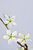 Spring blossom cherry-plum Stock Images