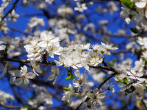 Spring blossom cherry tree. Flowers and sky Royalty Free Stock Photos
