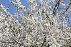 Spring blossom cherry tree Stock Images
