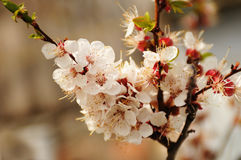 Spring blossom of cherry tree Royalty Free Stock Photo