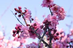 Spring blossom cherry tree branches, japanese pink flowers on b. Spring blossom cherry tree branches, chinese, japanese pink flowers on blue sky background royalty free stock photography