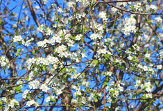 Spring blossom cherry tree Stock Photography