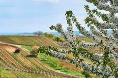 Spring blossom cherry tree in vineyard.South Moravia. Czech Republic. royalty free stock photo