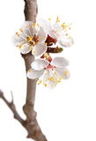 Spring blossom on cherry twig Stock Photography