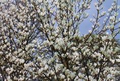 Spring. Blossom of chestnut tree Royalty Free Stock Image