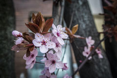 Spring Blossom. A close-up of a branch of pink flowers Stock Photography