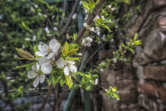 Spring Blossom. A close-up of a branch of white flowers Royalty Free Stock Images