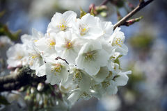 Spring blossom in close-up on tree in sunshine Stock Photo