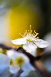 Spring Blossom Closeup Stock Images