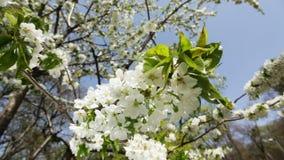 Spring blossom closeup. HD 1080 static: spring blossom, closeup stock video footage