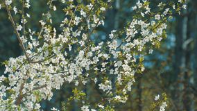 Spring blossom, closeup. Sprigs of flowering trees on blurred background stock video footage