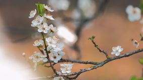 Spring blossom, closeup. Sprigs of flowering trees on blurred background in springtime stock footage