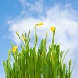 Spring blossom daffodil flowers buds blue sky Royalty Free Stock Photos