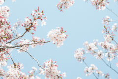 Spring Blossom Day Blue Sky On Branch Royalty Free Stock Photography