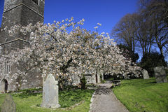 Spring Blossom in an English Churchyard. Beautiful spring Blossom in an English Country Churchyard Royalty Free Stock Photography