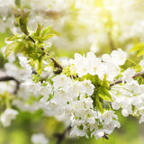 Spring Blossom Flower Background Stock Image