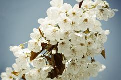 Spring Blossom Flower Background Royalty Free Stock Photo