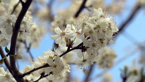 Spring blossom. Flower blooming on tree branch. Closeup. Blue sky stock video footage