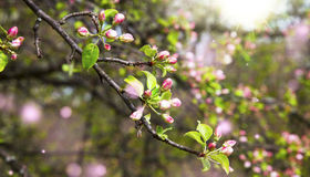 Spring blossom with flower buds in the sunlight Stock Image