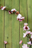 Spring blossom flowering branches of cherry (sakura) on wooden table Royalty Free Stock Photos