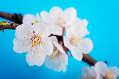 Spring blossom flowers apricot on blue sky Royalty Free Stock Photo