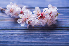 Spring blossom flowers apricot on blue wooden background Stock Photography