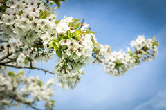 Spring blossom in full bloom against blue sky Stock Photography