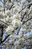 Spring blossom in full boom at local park Royalty Free Stock Image