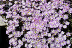 Spring, Blossom Garden, Purple, White and Yellow Flowers, Succulent Plant Stock Photo