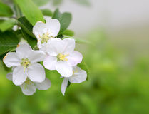 Spring blossom on green background Stock Photos