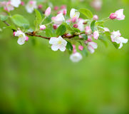 Spring blossom on green background Stock Images