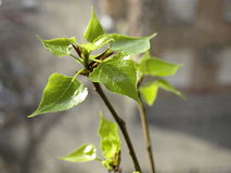 Spring. Blossom leaves. Royalty Free Stock Photos